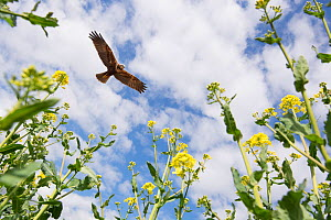 Marsh harrier (Circus aeruginosus) adult female circling over Oilseed rape crop, Norfolk, England, May. Digital composite. - Gary  K. Smith
