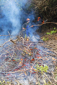 Scottish forestry workers controlling invasive Rhodedendron by cutting and burning, Scotland, UK, May 2013.  -  Gary  K. Smith