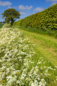 Country lane lined with Cow parsley (Anthriscus sylvestris) in arable farmland, Norfolk, England, June. - Gary  K. Smith