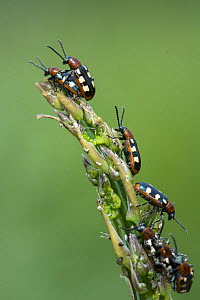 Common asparagus beetle (Crioceris asparagi) infestation of adult beetles on tip of edible Asparagus, Norfolk, England, UK, June.  -  Gary  K. Smith