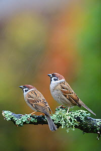 Tree sparrows (Passer montanus) perching on a branch in the rain. Perthshire, Scotland, December.  -  Fergus  Gill