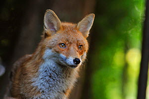 Red Fox (Vulpes vulpes) portrait in an urban area. Glasgow, Scotland. May. - Fergus  Gill
