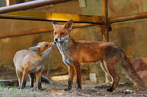Red Fox (Vulpes vulpes) portrait of parent and cub in an urban area. Glasgow, Scotland. May. - Fergus  Gill