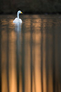 Whooper Swan (Cygnus cygnus) adult bird in afternoon light. Perthshire, Scotland, March.  -  Fergus  Gill