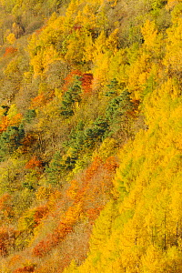 Dawn light over a mixed woodland in autumn. Kinnoull Hill Woodland Park, Perthshire, Scotland, November.  -  Fergus  Gill