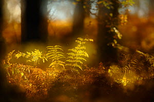 Abstract shot of bracken in a mixed woodland in autumn. Kinnoull Hill Woodland Park, Perthshire, Scotland, November.  -  Fergus  Gill