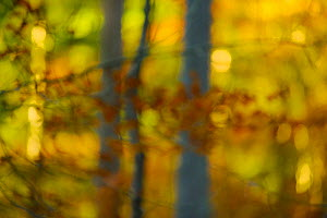 Abstract shot of a mixed woodland in autumn. Kinnoull Hill Woodland Park, Perthshire, Scotland, November.  -  Fergus  Gill