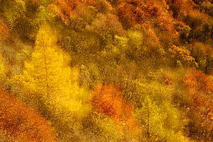 Abstract shot at dawn over a mixed woodland in autumn. Kinnoull Hill Woodland Park, Perthshire, Scotland, November. - Fergus  Gill