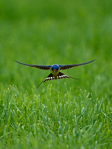 Barn swallow (Hirundo rustica) flying low over the ground, Indre-et-Loire , France, June. - Loic  Poidevin