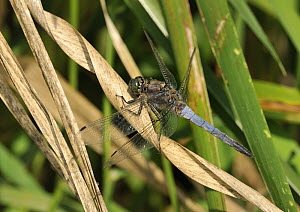 Male Black-tailed skimmer (Orthetrum cancellatum), Vend�e, France, July.  -  Loic  Poidevin