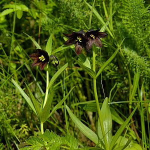 Chocolate lily (Fritillaria affinis), British Columbia, Canada, June.  -  Loic  Poidevin