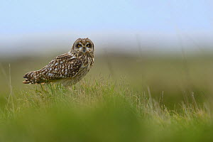 Short eared owl (Asio flammeus), Marais breton, Brittany / Bretagne, France, April.  -  Loic  Poidevin