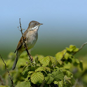 Males Common whitethroat  (Sylvia communis), Marais breton, Brittany / Bretagne, France, April.  -  Loic  Poidevin
