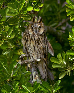 Long-eared owl  (Asio otus) perched in a bush, Marais breton, Brittany / Bretagne, France, June.  -  Loic  Poidevin
