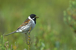Male Common reed bunting (Emberiza schoeniclus), with insect prey, Marais breton, Brittany / Bretagne, France, May.  -  Loic  Poidevin