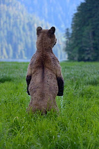 Female Grizzly bear (Ursus arctos horribilis) standing up, rear view,  Khutzeymateen Grizzly Bear Sanctuary, British Columbia, Canada, June.  -  Loic  Poidevin