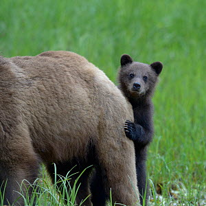 Grizzly bear (Ursus arctos horribilis) cub peering out from behind its mother, Khutzeymateen Grizzly Bear Sanctuary, British Columbia, Canada, June.  -  Loic  Poidevin