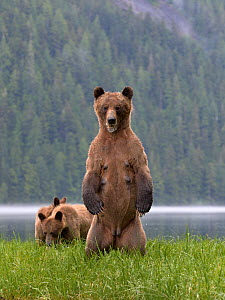 Female Grizzly bear (Ursus arctos horribilis) standing up, with two cubs nearby, Khutzeymateen Grizzly Bear Sanctuary, British Columbia, Canada, June.  -  Loic  Poidevin