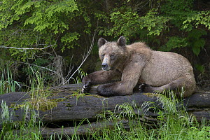 Female Grizzly bear (Ursus arctos horribilis) resting on a log, Khutzeymateen Grizzly Bear Sanctuary, British Columbia, Canada, June.  -  Loic  Poidevin