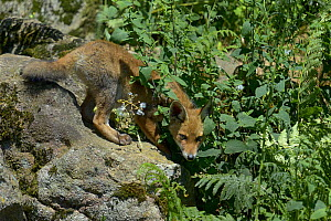 Red fox (Vulpes vulpes) cub, France, June.  -  Loic  Poidevin