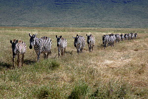 Burchell's zebra (Equus quagga burchellii) walking in single file, Ngorongoro Crater,Tanzania  -  Mike Wilkes