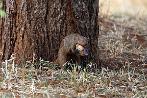 Banded mongoose (Mungos mungo) breaking snail on tree, Tarangire, Tanzania. - Mike Wilkes