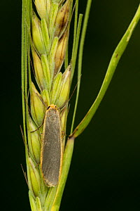 Common Footman (Eilema lurideola) adult moth resting on cereal-grass, Sheffield, England, UK, July.  -  Paul Hobson