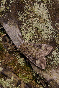 Green arches moth (Anaplectoides prasina) adult on lichen wood, South Yorkshire, England, UK, July  -  Paul Hobson