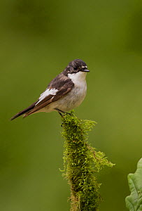 Pied flycatcher (Ficedula hypoleuca) male on mossy perch in oak woodland, Peak District, England, UK.  -  Paul Hobson