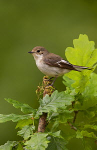 Pied flycatcher (Ficedula hypoleuca) female on oak woodland,Peak District, England, UK, June.  -  Paul Hobson