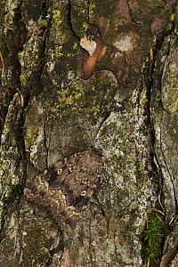 Red underwing (Catacala nupta) resting on Scots pine trunk, Sheffield, England, UK, August. - Paul Hobson
