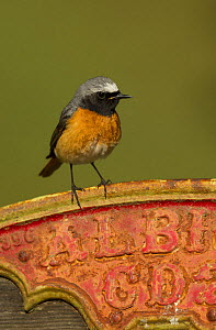 Redstart (Phoenicurus phoenicurus) male on old sign, Peak District, England, UK, - Paul Hobson