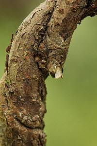 The Spectacle (Abrostola tripartita) moth at rest, camouflaged on twig, Sheffield, England, UK, July. - Paul Hobson