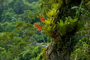 Amazon rain forest canopy view with flowering Bromeliad epiphytes growing on a branch of a giant Ceiba tree. Tiputini Biodiversity Station, Amazon Rainforest, Ecuador, January.  -  Tim  Laman
