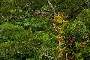 Amazon rainforest canopy view with flowering Bromeliad epiphytes growing on a branch of a giant Cieba tree. Tiputini Biodiversity Station, Amazon Rainforest, Ecuador, January. - Tim  Laman