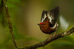 Male Club-winged Manakin (Machaeropterus deliciosus) hitting his wings together (stridulating) over his back to produce a sound.  Milpe Cloudforest Reserve, Ecuador, January. Endemic. - Tim  Laman