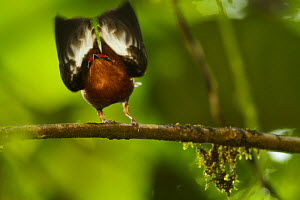 Male Club-winged Manakin (Machaeropterus deliciosus) hitting his wings (stridulating) together over his back to attract mate, Endemic, Milpe Cloudforest Reserve, Ecuador, January. - Tim  Laman