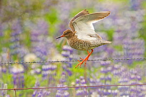 Redshank (Tringa totanus) perched on wire fence in field of Lupins, Iceland, June  -  Peter Cairns