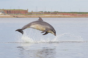 Bottlenose dolphin (Tursiops truncatus) breaching in front of Fort George, Fortrose, Scotland, July.  -  Peter Cairns