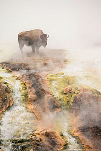 Bison (Bison bison) standing in geothermal run-off in winter, Yellowstone National Park, Wyoming, USA, February. - Peter Cairns