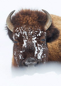 American Bison (Bison bison) lying in snow field, Hayden Valley,Yellowstone National Park, Wyoming, USA, January. - Peter Cairns