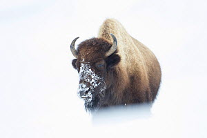 American Bison (Bison bison) walking through snow field, Hayden Valley,Yellowstone National Park, Wyoming, USA, January. - Peter Cairns