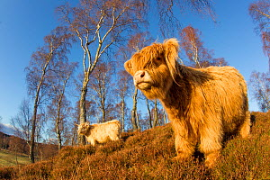 Highland Cattle in native birch woodland, Glenfeshie, Caringorms National Park, Scotland, February. - Peter Cairns