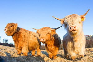 Trio of young Highland Cattle in field, Glenfeshie, Caringorms National Park, Scotland, February. - Peter Cairns