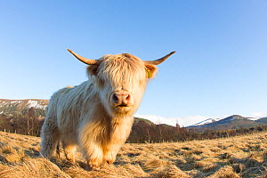 RF- Highland Cow, Glenfeshie, Caringorms National Park, Scotland, February. (This image may be licensed either as rights managed or royalty free.) - Peter Cairns