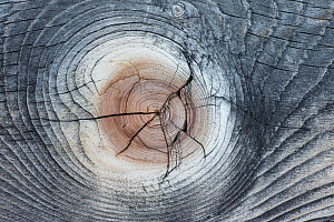 Wood patterns in Lodgepole pine (Pinus contorta) Yellowstone National Park, Wyoming, USA, January. - Peter Cairns