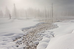 Calcified trees at Tangled Creek in winter, Yellowstone National Park, Wyoming, USA, February 2013. - Peter Cairns