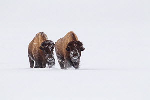 American Bison (Bison bison) walking through deep snow, Yellowstone National Park, Wyoming, USA, February. - Peter Cairns