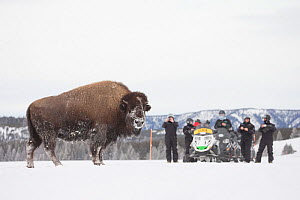 Tourists watching American bison (Bison bison) Yellowstone National Park, Wyoming, USA, February 2013.  -  Peter Cairns