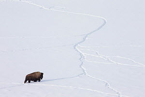 American bison (Bison bison) walking through snow using tracks made by other animals, Yellowstone National Park, Wyoming, USA, February. - Peter Cairns